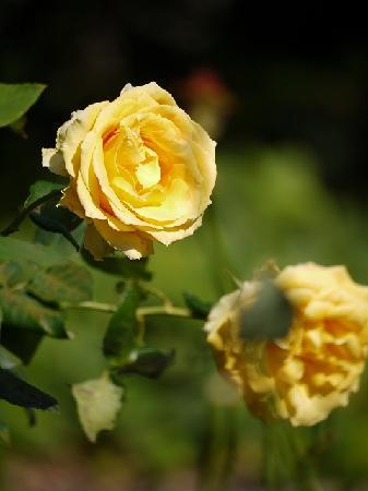 The Royal Botanic Garden: バラ園のバラ