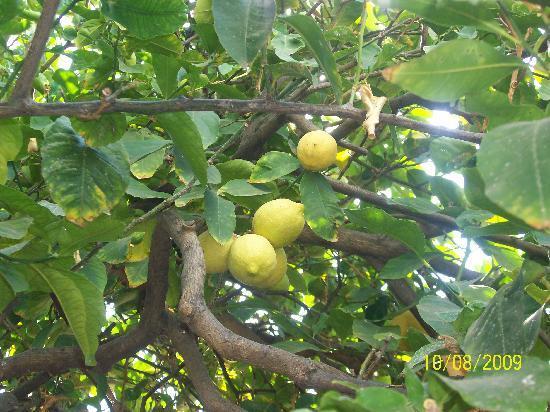 Sokaki Lemon Garden: The Lemon Garden