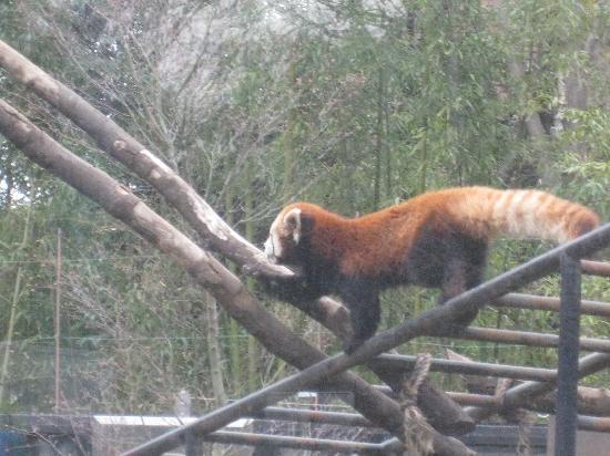 Ueno Zoo : パンダ舎のとなりのレッサーパンダ