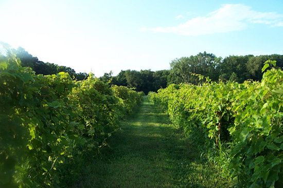 Clinton, IA: Organic vineyard - lovely to go walking through.