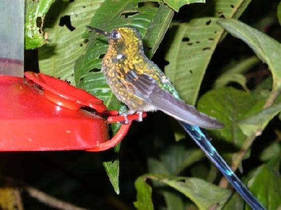 Hostería Sachatamia: Hummingbird eating breakfast