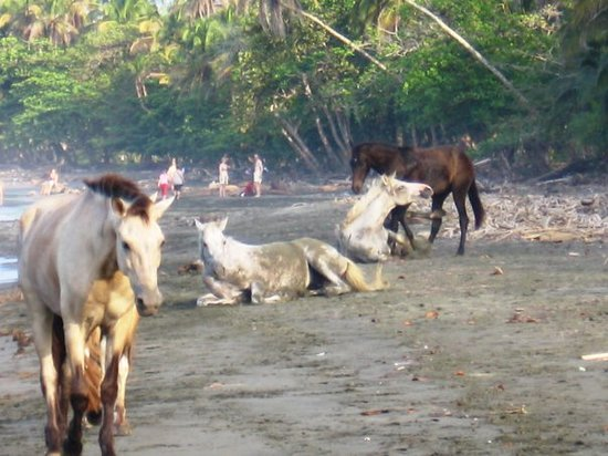 Кауита, Коста-Рика: Cavalls a lloure a Playa Negra - Cahuita