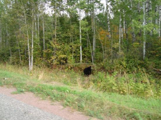 ทันเดอร์เบย์, แคนาดา: And here's our neighbour, THE BEAR, he's pretty friendly, u should come visit! :)