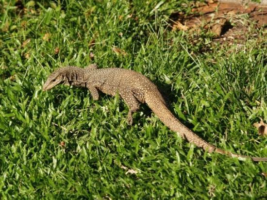 Taman Negara National Park, มาเลเซีย: Kleine Varaan bij ons in de tuin, Taman Negara jungle, Maleisië (2008)