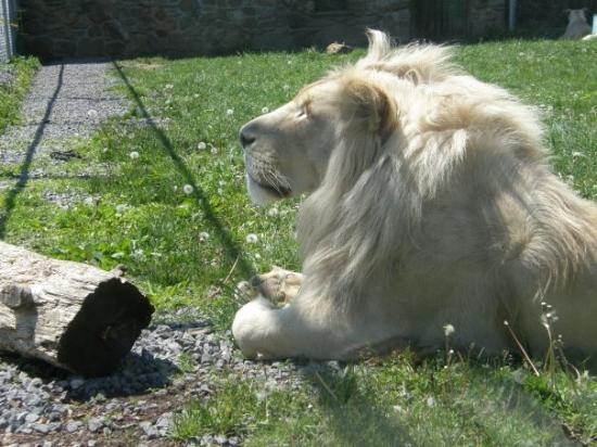 Parc Safari: Mr. lion blanc