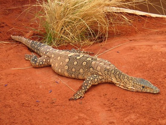 Alice Springs Reptile Centre Photo
