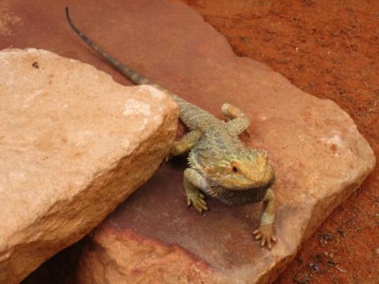Foto de Alice Springs Reptile Centre