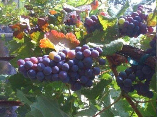 นาปา, แคลิฟอร์เนีย: Napa vineyards and sunshine