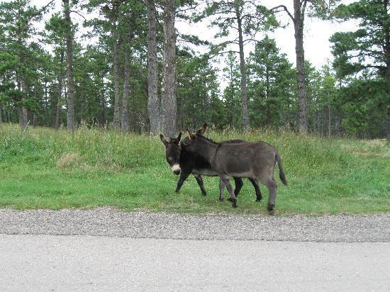 Bear Country USA: Miniature Donkeys Playing