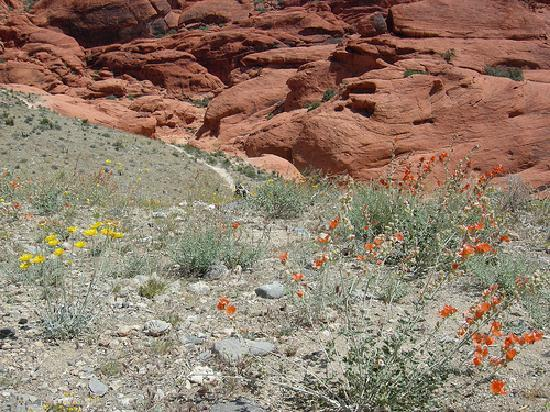 Red Rock Canyon National Conservation Area: 花が咲く