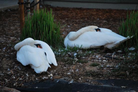 Anderson, CA: swans