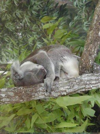 Zoo Miami: Koala Exhibit