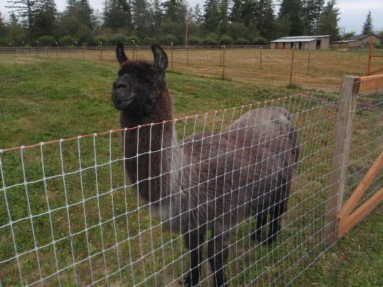 Anderson Creek Lodge: One of the llamas