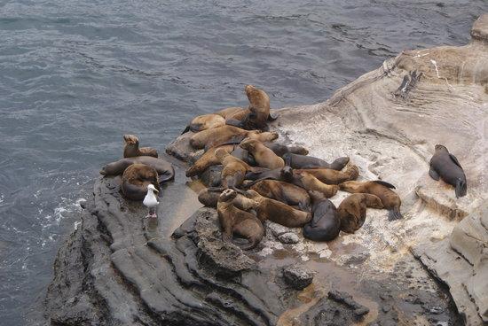 La jolla seals 2