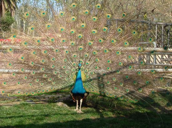 Peacock - Barcelona Zoo