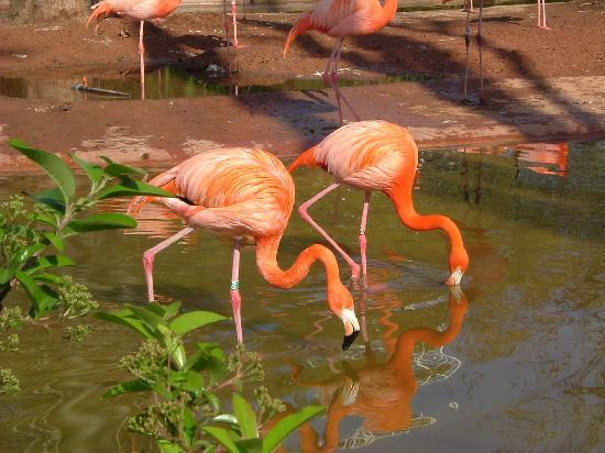 Flamingos - Barcelona Zoo
