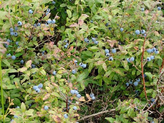 Elkins, Virginia Occidental: Berries along trail