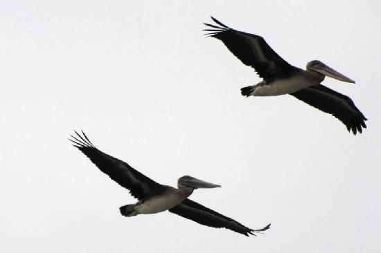 Captain's Inn at Moss Landing: Pelicans seen while walking on beach