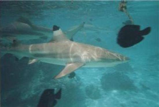 plongée avec les requins à Moorea (Polynésie)