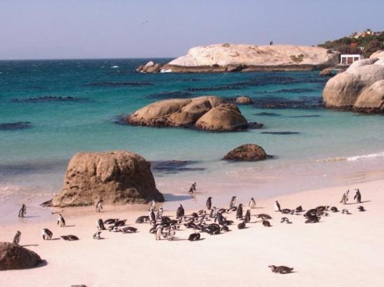 ใจกลางเมืองเคปทาวน์, แอฟริกาใต้: Le Cap, Afrique du Sud  une plage avec des pingoins