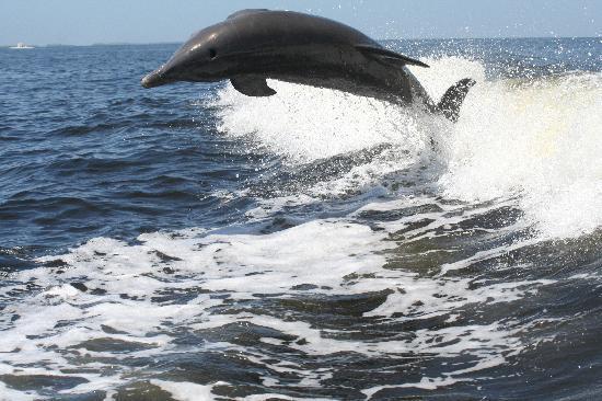 เกาะซานิเบล, ฟลอริด้า: dolphins