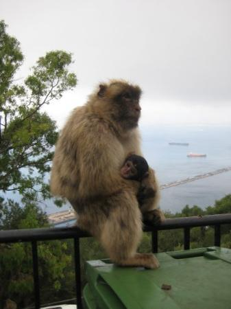 The Rock of Gibraltar: Mama and Baby