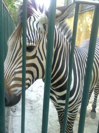 Plock, Polen: zebraaa