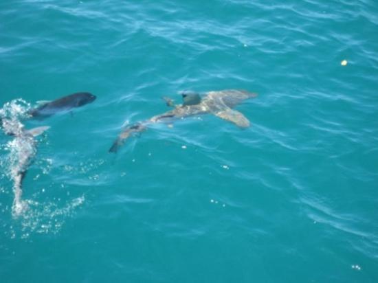 พอร์ตดักลาส, ออสเตรเลีย: black tip reef shark - and yes, we went back in the water!
