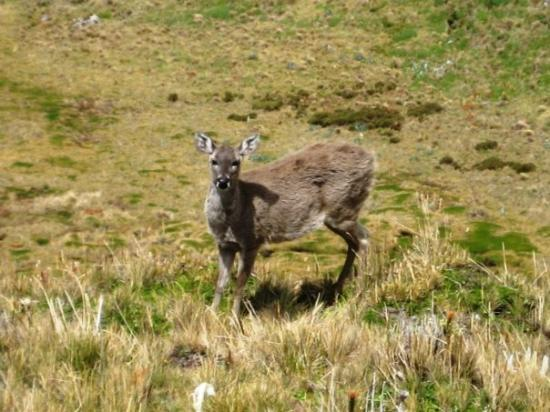 Cayambe, الإكوادور: Andean deer, en route to the Cayambe volcano