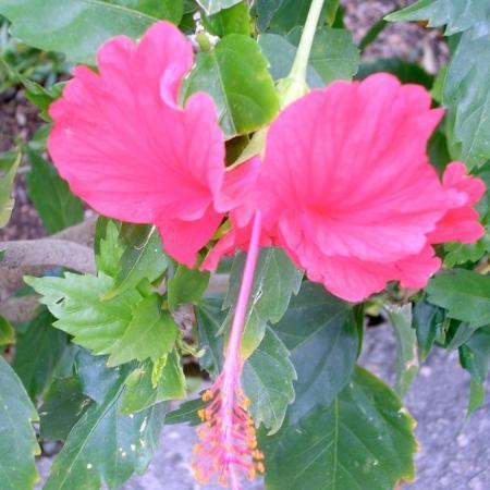 พลายาเดลคาร์เมน, เม็กซิโก: Would the plural of hibiscus be hibisci?