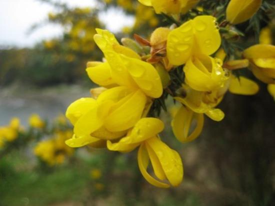 ปวยร์โตวารัส, ชิลี: Close-up of gorze flower