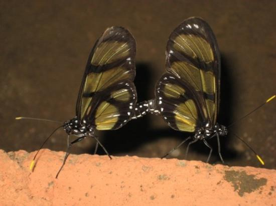 Yasuni National Park, Ekuador: Butterflies mating, Amazon jungle
