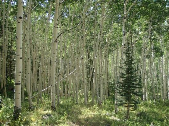 โมอับ, ยูทาห์: Aspen forest in the La Sal Mts