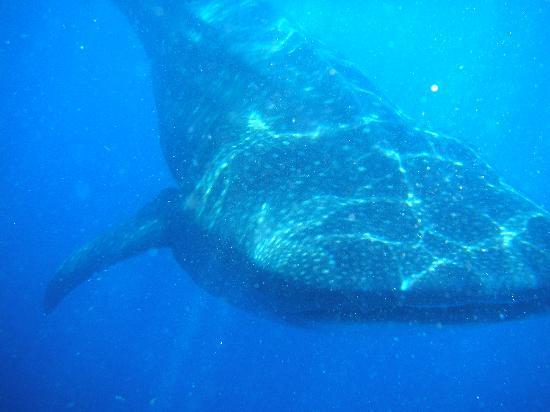 Mayan Aqua Dive: whale sharks off la isla