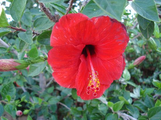 Heliotrope Apartments : hibiscus