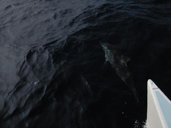 Kailua-Kona, HI: dolphin