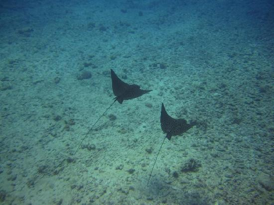 Oahu Diving: cool rays