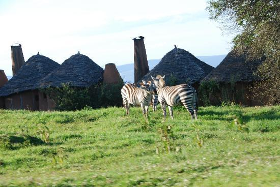 andBeyond Ngorongoro Crater Lodge: Some zebras roaming the camp