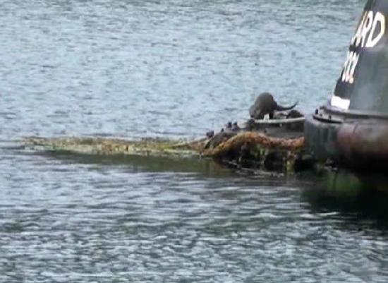 White Heather Hotel: Otters in the harbour
