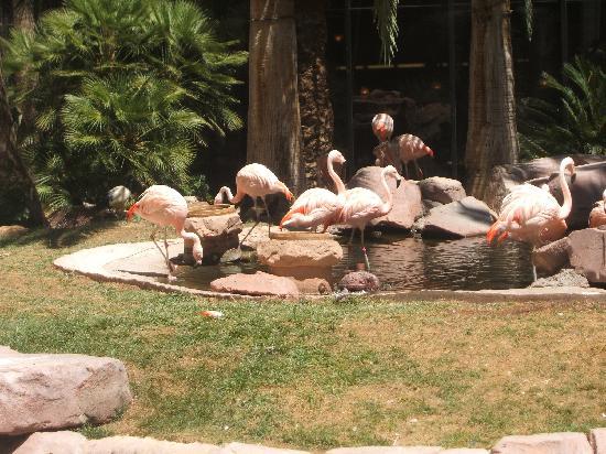 โรงแรมฟลามิงโกแอนด์คาสิโน: Flamingos at the Flamingo