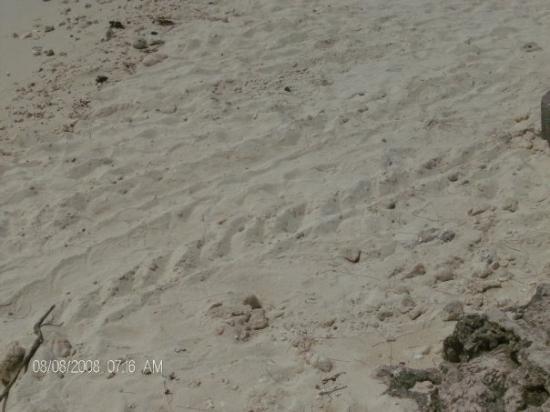 เกาะเฮรอน, ออสเตรเลีย: Turtle tracks!