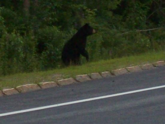 Black mamma bear trying to cross the highway to get her cub- Warner, NH