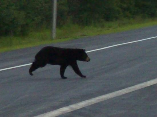Warner, Nueva Hampshire: Mamma bear running for her baby