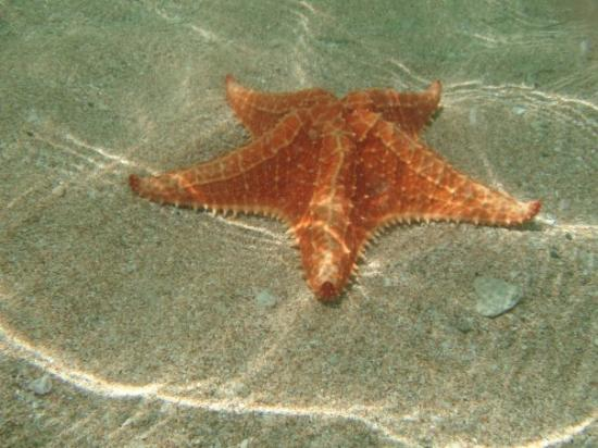 Bocas Town, ปานามา: Starfish beach