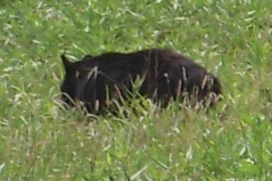พิเจนฟอร์จ, เทนเนสซี: yep, that's a black bear.  hope to have a few better pics on the 35mm when we get home.