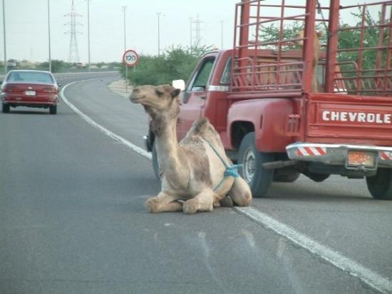คูเวตซิตี, คูเวต: This camel literally bounced out of the truck in front of us!  The truck was backing up to reloa