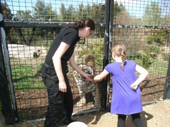 แคนเบอร์รา, ออสเตรเลีย: Chelsea hand-feeding the tigers at the National Zoo, Canberra