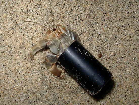 Yelapa, เม็กซิโก: Film canister hermit crab.