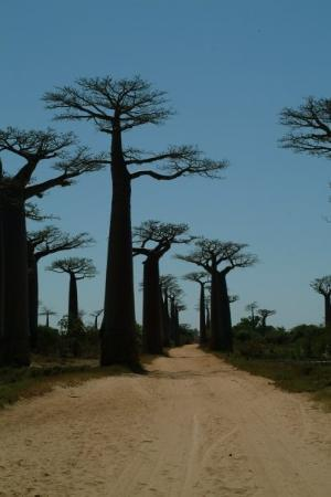 Avenue of the Baobabs: els famosos baobabs