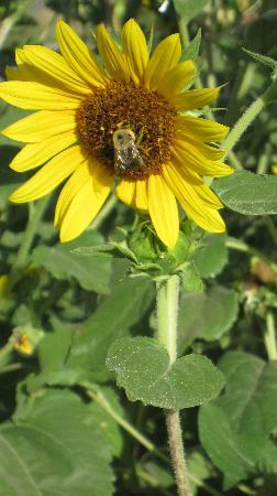 A Room With a View: Bee on Sunflower